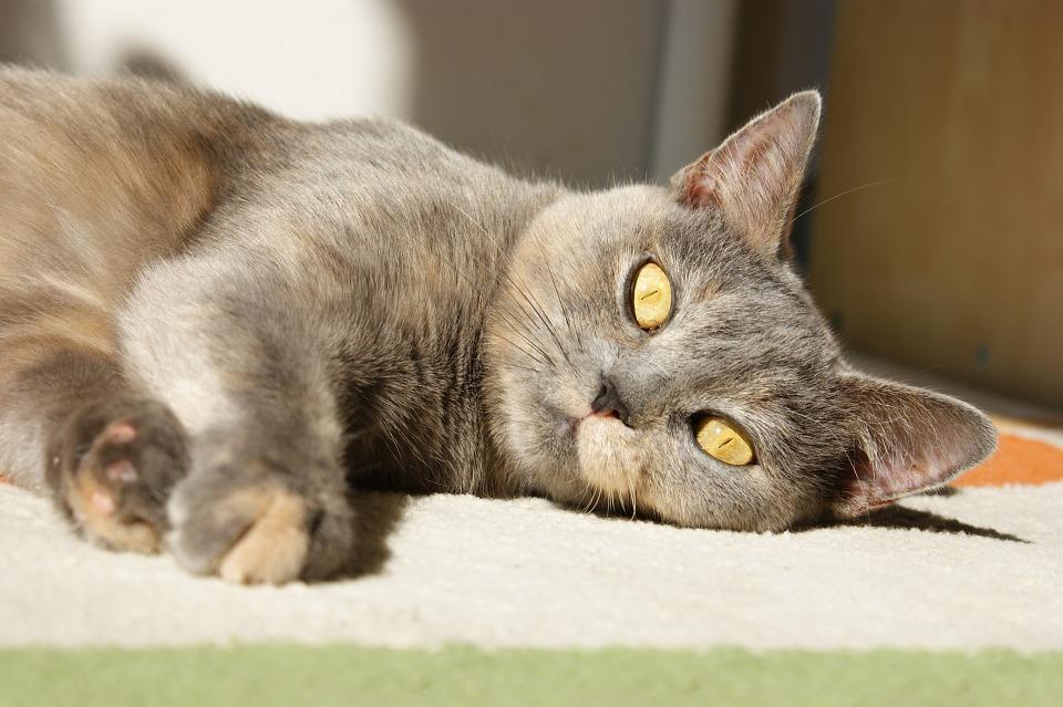 suikerziekte bij de kat